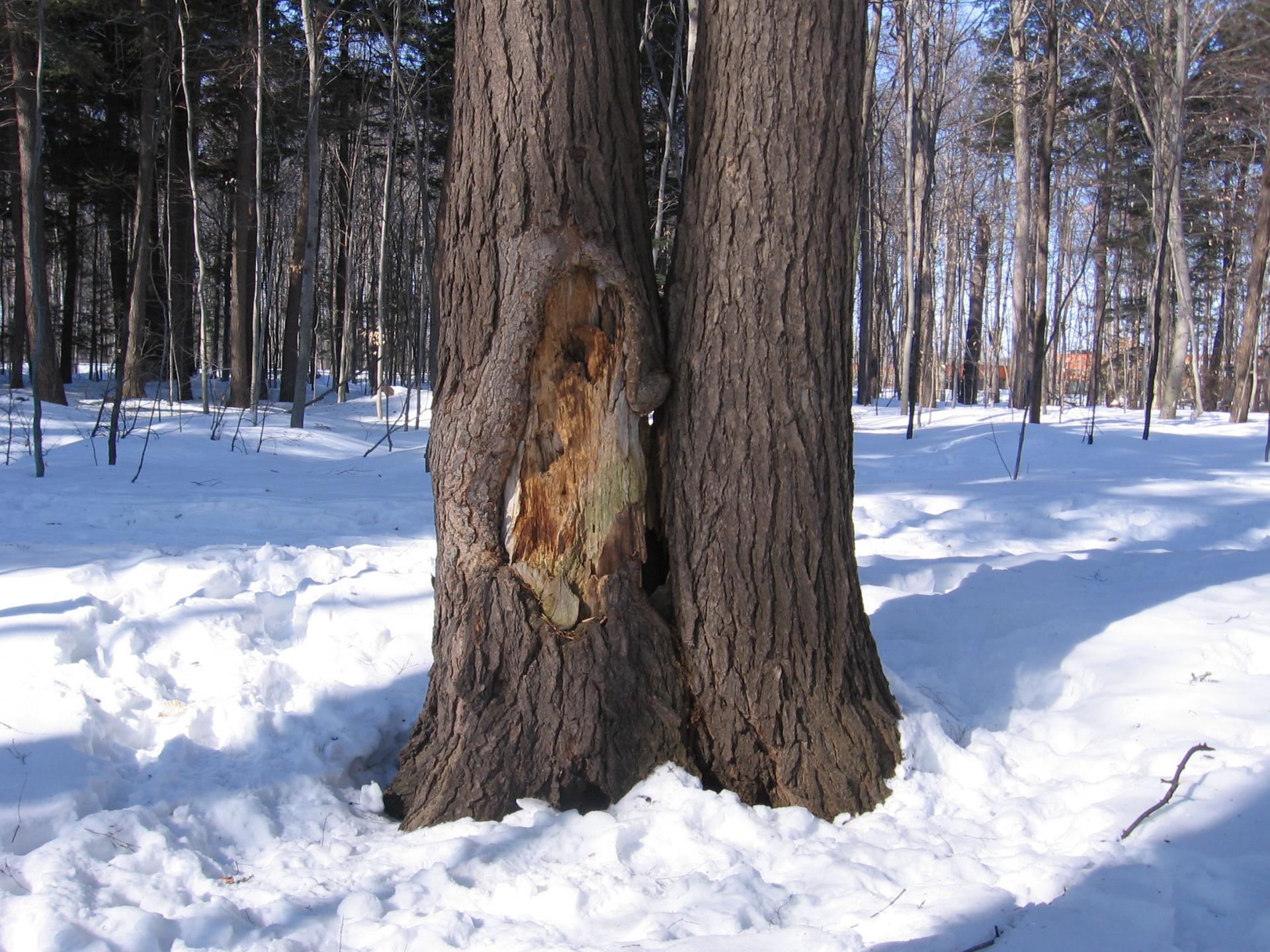 Détérioration des arbres : Jumeaux Siamois